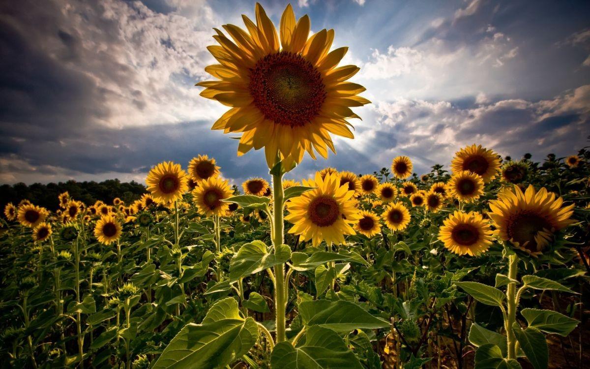 Sunflower radiating